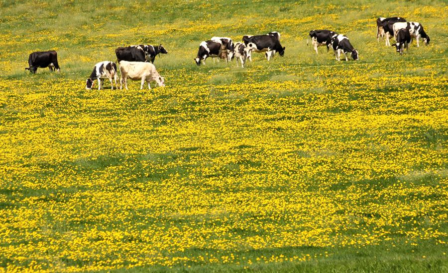 Vaches fribourgeoises dans un pré de pissenlits - delimoon.com