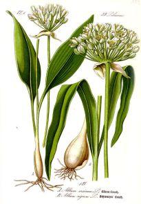 413px-Illustration_Allium_ursinum1[1]