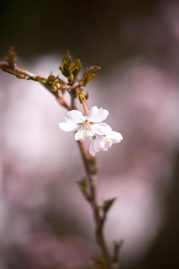 fleurs d'amandier du Japon