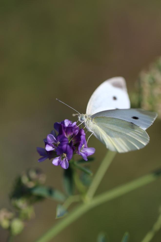 Apollon - papillon commun des prés suisses - Delimoon.com