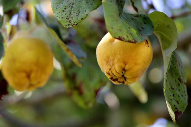 Gelée de coing - dernier fruit de l'année - delimoon.com