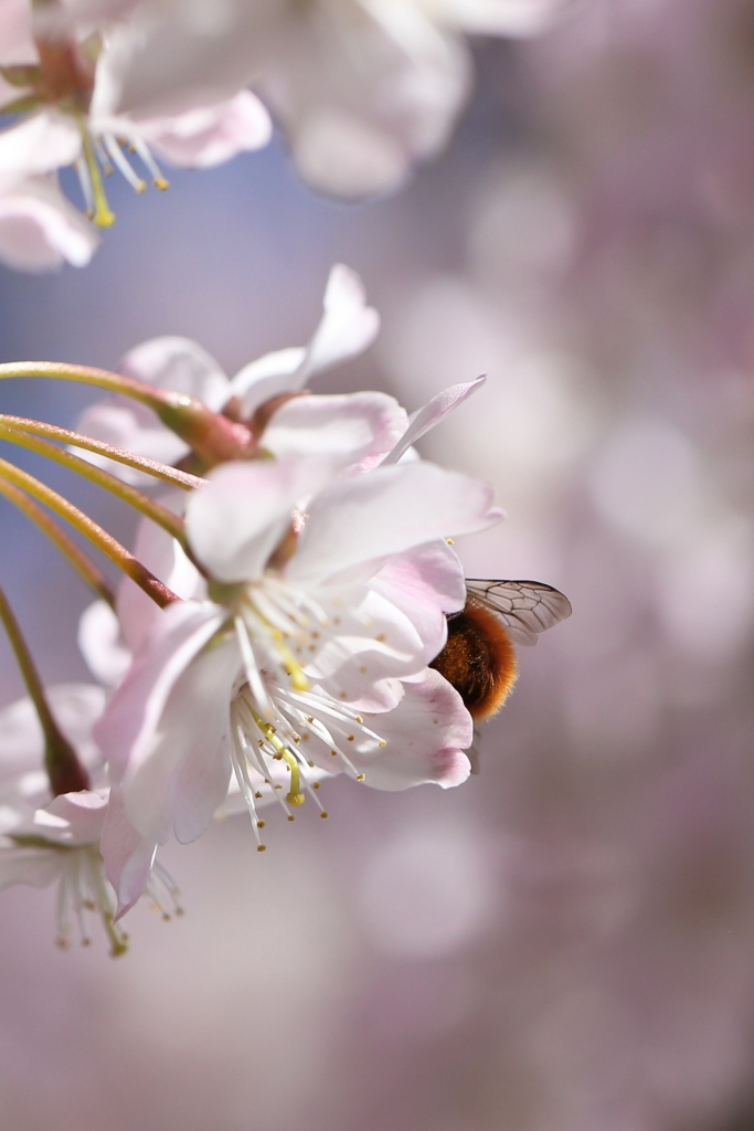 Bee at work - spring beauty - Delimoon.com