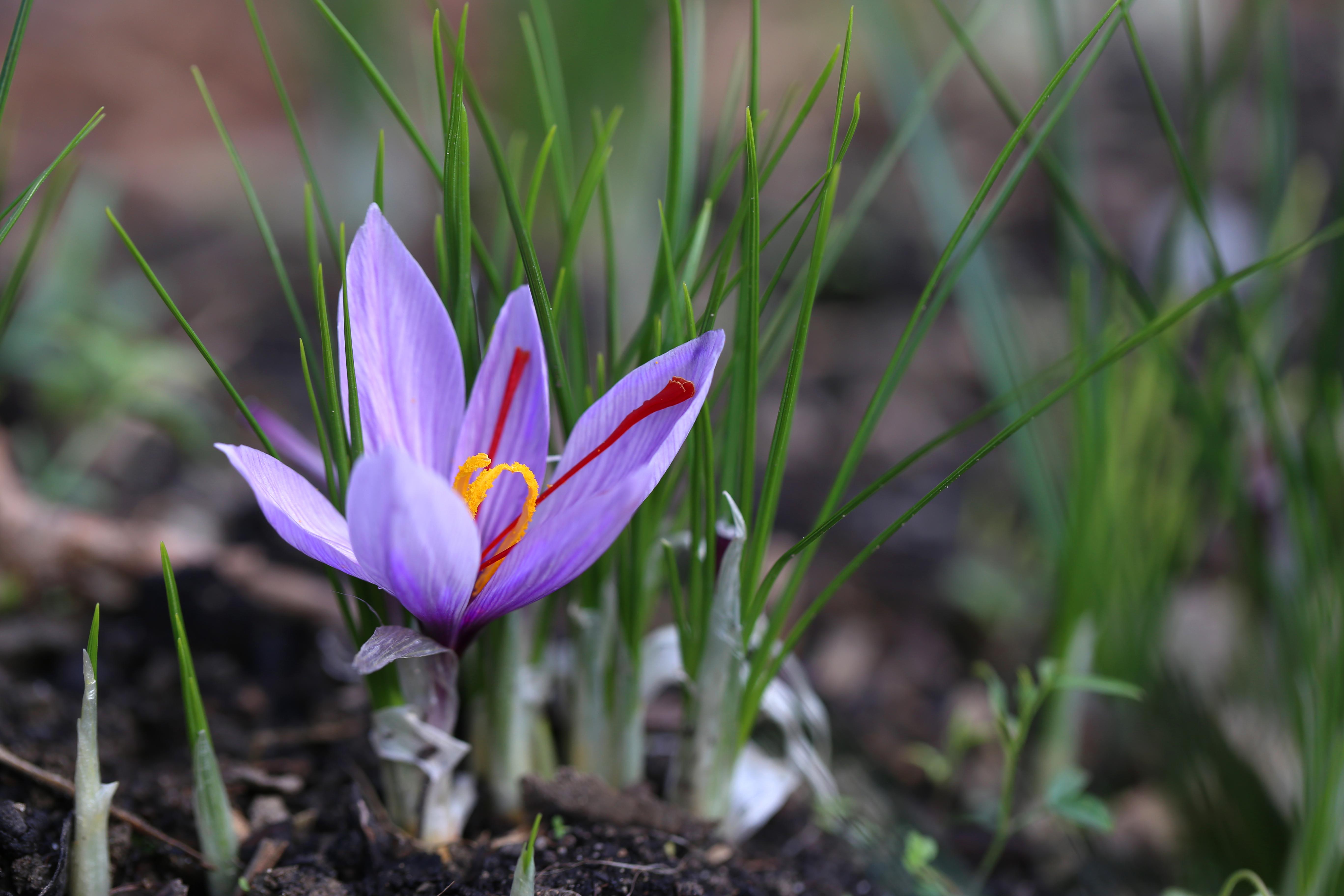 """Crocus sativus - fleur de safran - delimoon.com - safran fribourgeois produit dans le Vully et certifié """"produit du terroir fribourgeois"""