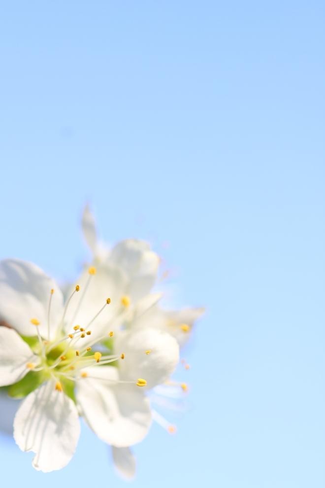 Fleurs de pommier - Apple flower - delimoon.com